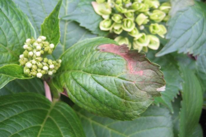 Ticks on hydrangeas  Diseases of hydrangeas - how dangerous are they