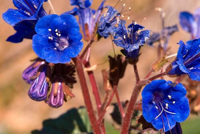 Фацелия колокольчатая голубая