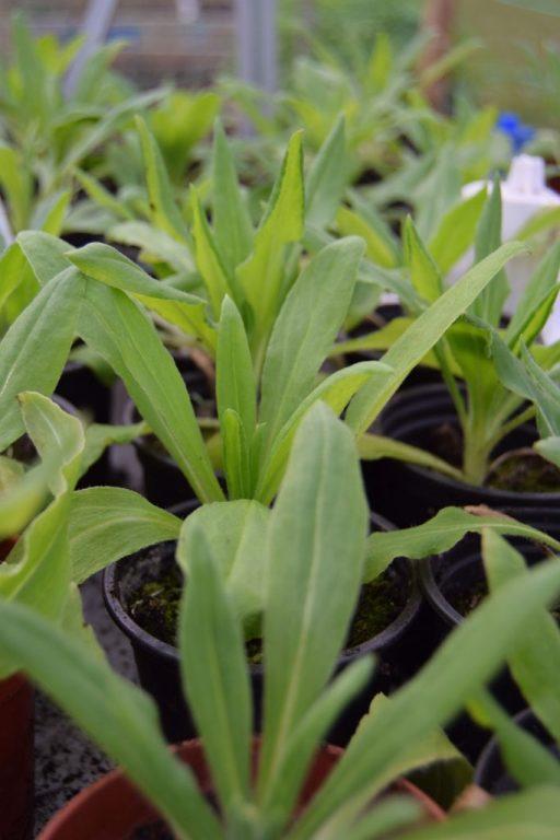 Overwintered Helichrysum seedlings