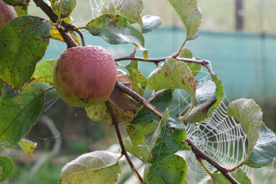 Apples and cobwebs