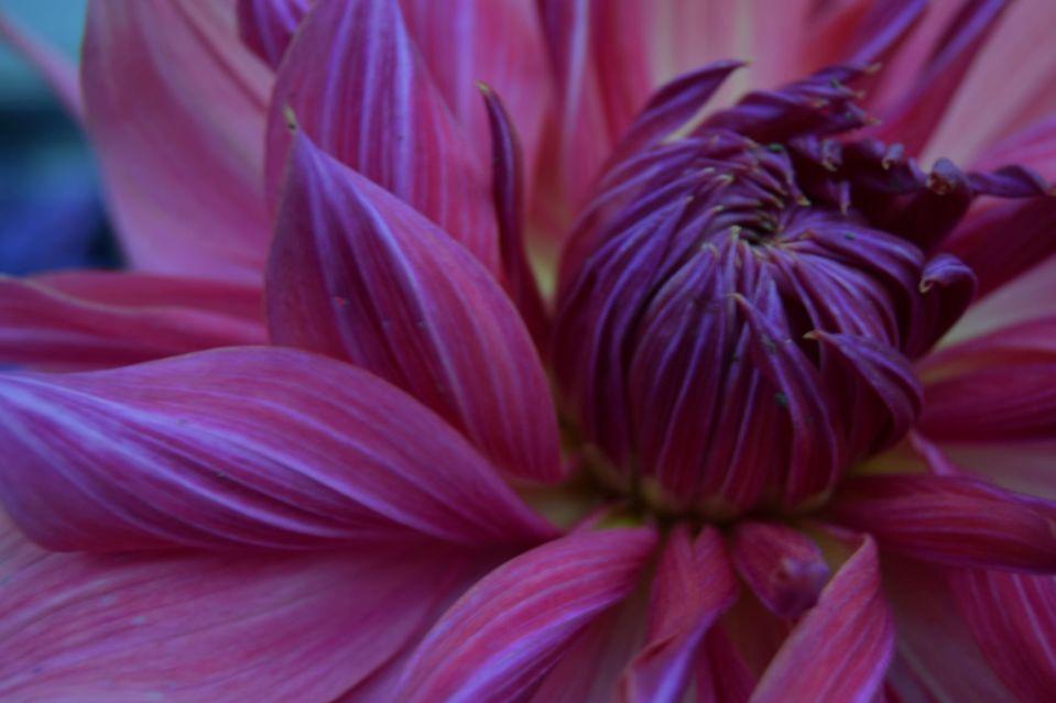 Dahlia Penhill Dark Monarch
