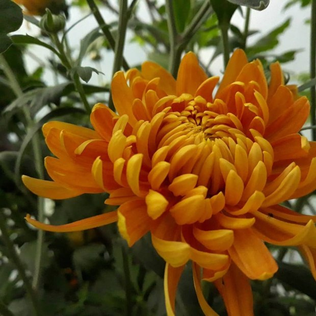 Chrysanthemum Orange Allouise