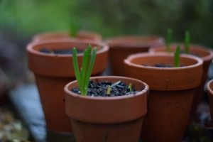 Muscari shooting in terracotta pot