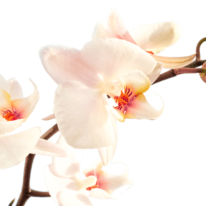 Orchidee by Ludo Annaert   Florale Vormgeving