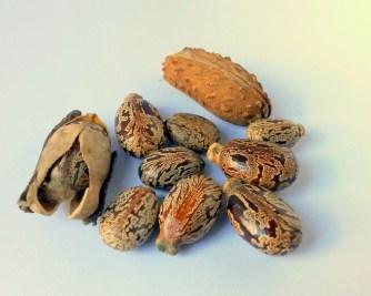 castor-oil-seeds-327186_1280