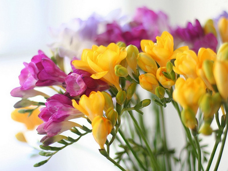Floral Dictionary: Freesia