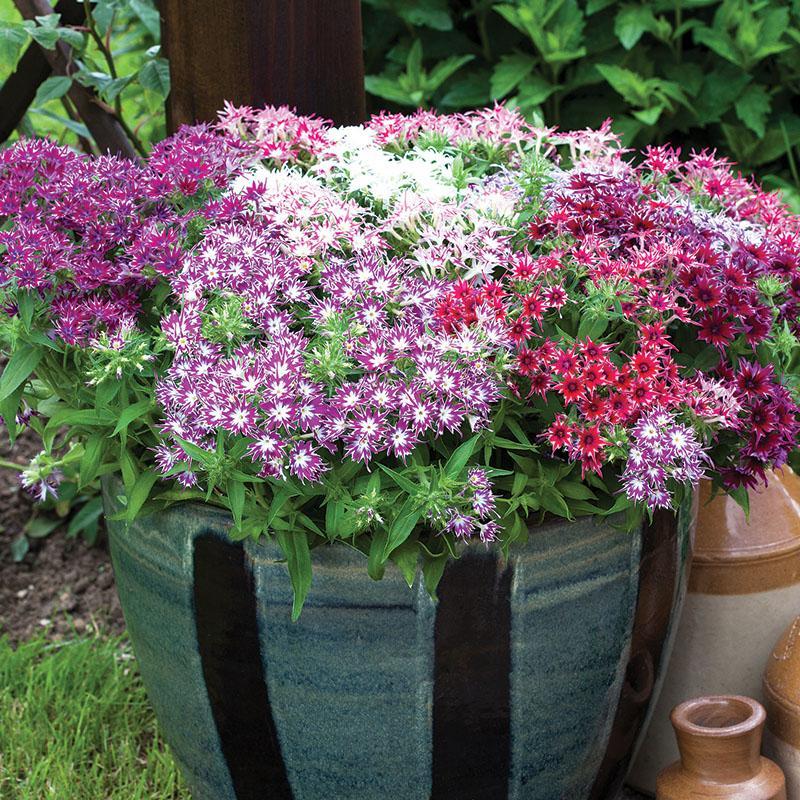 seasonal flower phlox assortment in a planter