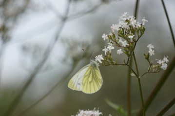 Garthmyl butterfly
