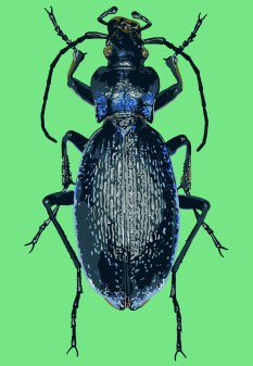 Blue Ground Beetle