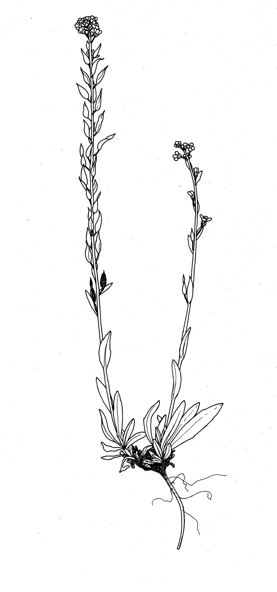 Draba aurea Vahl. ex Hornem.