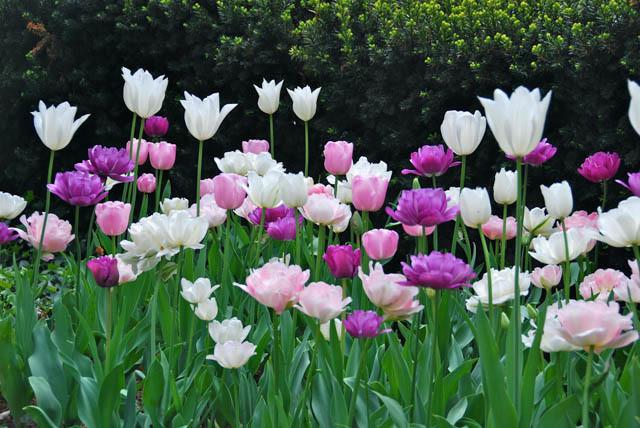 vegyes tulipán kombináció