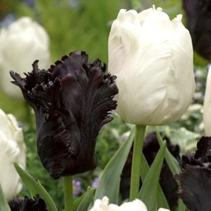 akciós papagáj tulipán