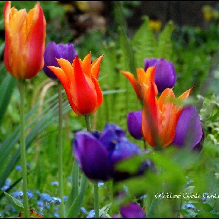 tulipánok a zöld pagonyban