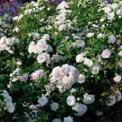 rózsa aspirin bokor