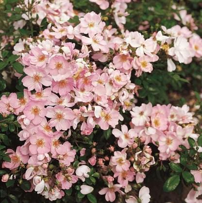 sweet_haze talajtakaró rózsa