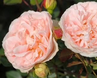 rosa_ Matthias-Claudius-Rose