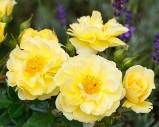 Bienenweide-gelb - sárga miniatűr rózsa