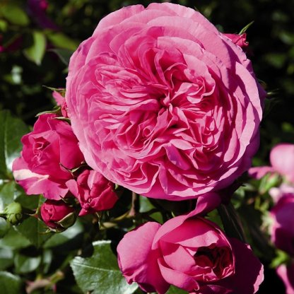 baronesse ágyás rózsa