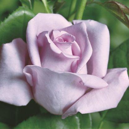 mainer fastnacht lila teahibrid rózsa