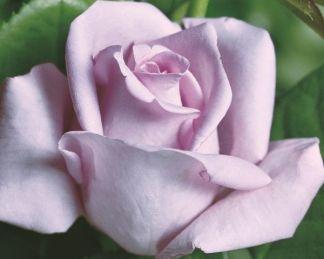 rosa_mainer fastnacht teahibrid rózsa viirágja