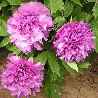 Paeonia suffruticosa 'Ge Jin Zi' - fás szárú bazsarózsa 1 A kínai <strong>Paeonia suffruticosa 'Ge Jin Zi' </strong>-<strong> fás szárú bazsarózsa</strong>krizantém formájú, telített lila színű virágokat hoz. <ul>  <li><em>Kiszerelés: szabadgyökerű</em></li> </ul>