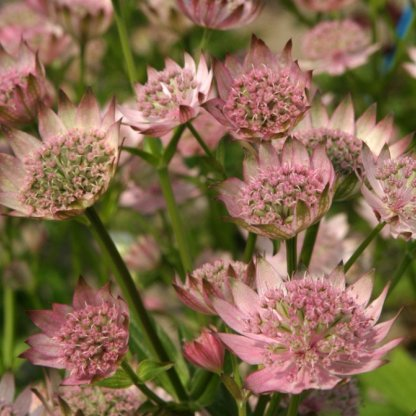 Astrantia major 'Pink Pride' - Völgycsillag