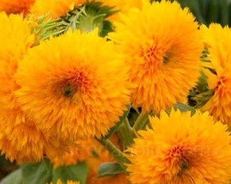 helianthus giant sungold