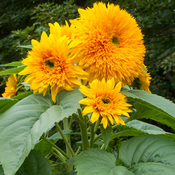 Helianthus annuus 'Giant Sungold'