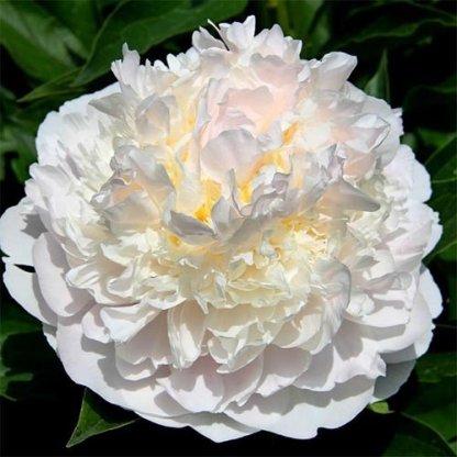 paeonia-blush-queen
