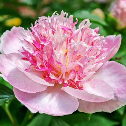 Paeonia lactiflora  'Do Tell' 1 Különleges virágú lágyszárú bazsarózsa. <ul>  <li><em>Kiszerelés: szabadgyökerű</em></li> </ul>