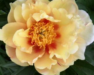 Paeonia Itoh 'Sonoma Sun' - Itoh bazsarózsa hibrid