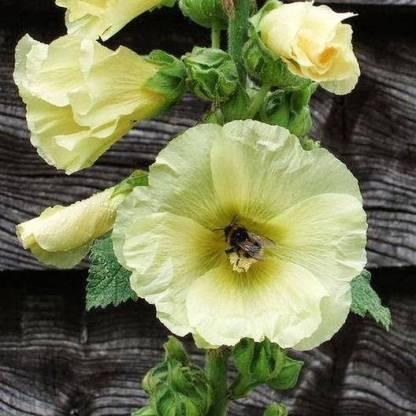Alcea ficifolia 'Henry Vlll' Yellow