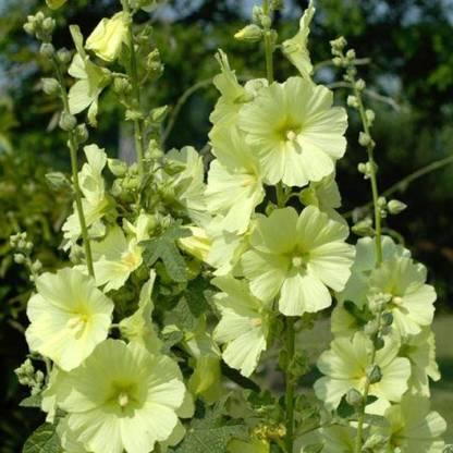 Alcea ficifolia 'Henry Vlll' Yellow 1 Nagy sárga virágú mályvarózsa  <em>Kiszerelés: virágmag, 1 g / ~ 100 mag/tasak</em>