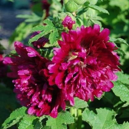 Alcea rosea 'Queeny Mix' purple