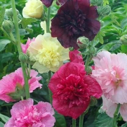 Alcea rosea 'Queeny Mix'