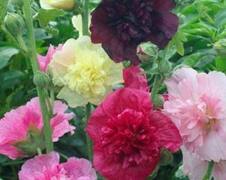 Alcea rosea 'Queeny Mix'