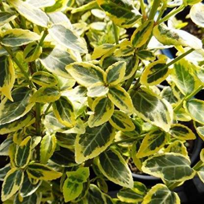 Euonymus fortunei 'Emerald Gold'_florapont