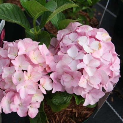 Hydrangea-macrophylla-Belle-Seduction-kerti hortenzia