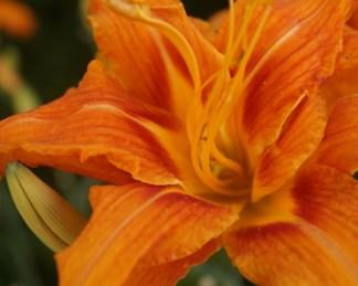 Hemerocallis Fulva Kwanso_virága_florapont