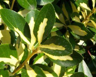 Euonymus japonicus 'Mediopictus'