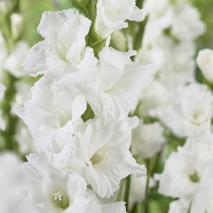 gladiolus-essential kardvirág fehér florapont