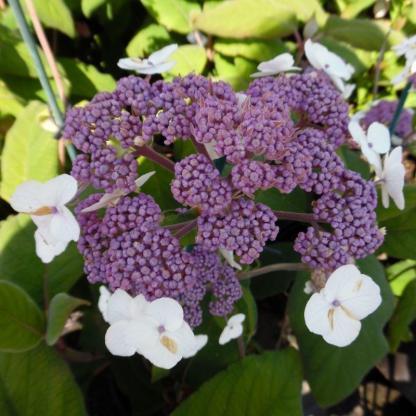 Hydrangea aspera 'Sargentiana' - hortenzia 1 A<strong> Sargentiana </strong>érdeslevelű hortenzia.( <em><i>Hydrangea aspera</i>). </em>Nyár végén hozza lapított bugákban nyíló, apró kék színű virágait, melyeket fehér meddő virágok ölelnek körül. Dekoratív, sötétzöld levelek között nagyon szépen mutat a színes virág.  <em>Kiszerelés: konténer, 10 l, fejlett méret</em>