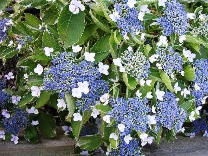 Hydrangea macrophylla 'Tricolor' - hortenzia 1 A<strong> Tricolor</strong> igazán különleges, lapos virágú hortenzia. Mint a neve is elárulja, 3 színből áll: középső virágai kékek és fehérek, amiket fehér és rózsaszín szirmok vesznek közül. Nagy levelei fehér szélűek.  <em>Kiszerelés: konténer, 3 l, 30/40 cm</em>