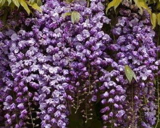 wisteria-floribunda-black-dragon