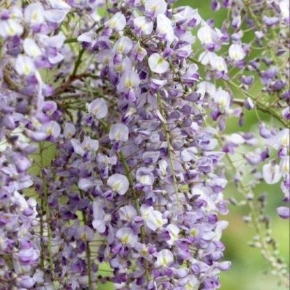 wisteria-floribunda-domino-virága