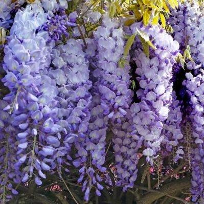 wisteria-sinensis-prolific kínai lilaakác