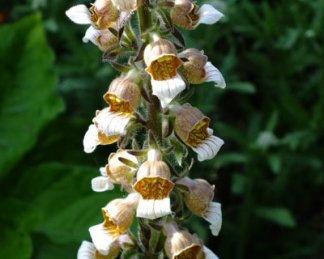 Digitalis lanata 'Grecian or Woolly Foxglove'