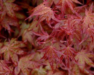 acer-palmatum-corallinum-japan-juhar-tavaszi levélszín