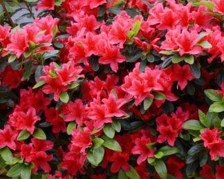 virágzó azálea cserje little red