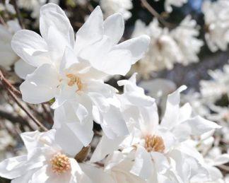 magnolia-stellata